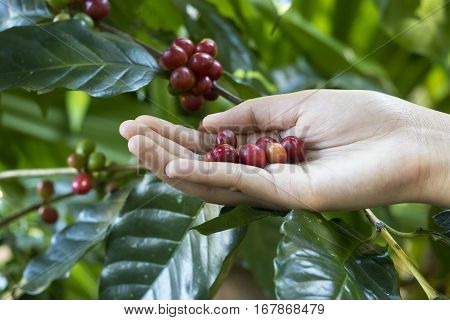 Close Up Red Berries Coffee Beans On Agriculturist Hand Background