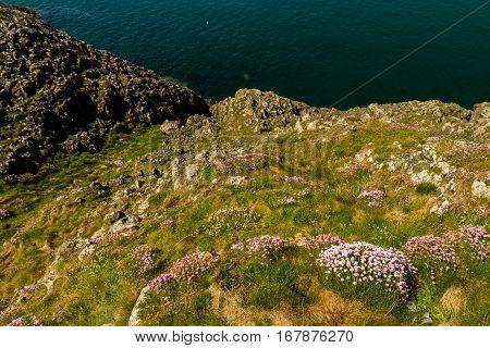 Sea pink or Armeria maritima in foreground of rocky coast.