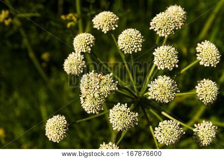 Anthriscus Sylvestris Or Cow Parsley Umbel