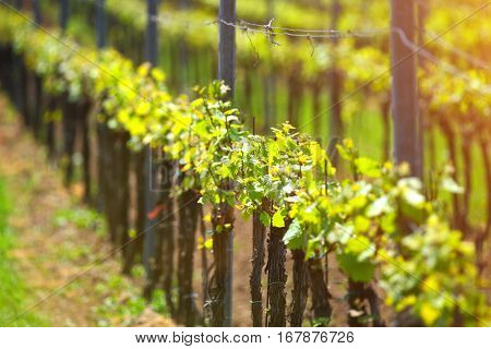 Young green leaves of grape. Close up of spring grape sprouts. Vineyard in warm evening sunlight in springtime. Green grape on sunny soft background. Spring agriculture background.