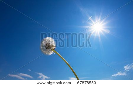 White fluffy dandelion on blue sky background. Bright sun shine on white dandelion. Summer sunny background.