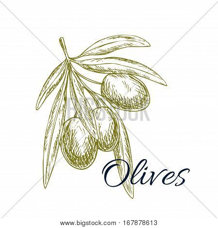Olives sketch icon. Vector isolated green olive plant tree branch. Design for for olive oil label, healthy vegetarian and vegan vegetable food menu. Symbol of Italian, Mediterranean, Greek or Spanish cuisine cooking and salad ingredient and seasoning