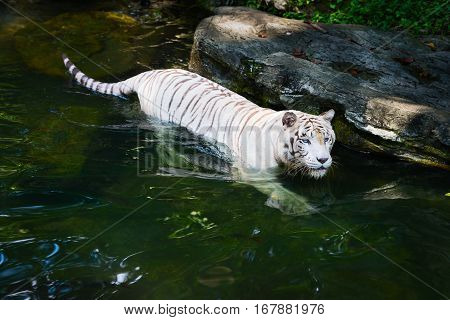 White tiger prowls in clean water in sunny day