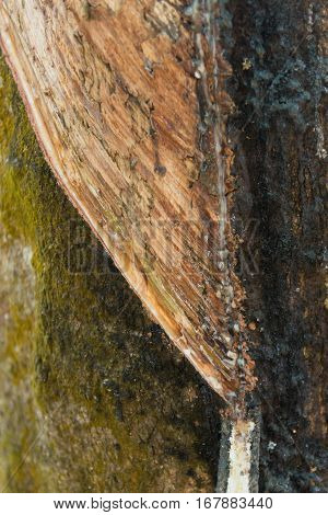 Bark Of The Cutted Rubber Tree