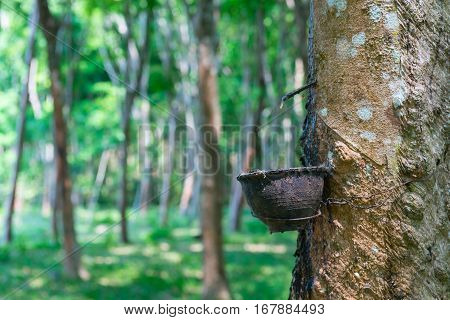 Natural Rubber Collecting From Rubber Tree