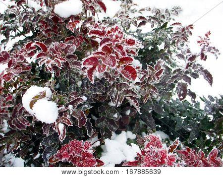Mahonia aquifolium in winter covered with snow.