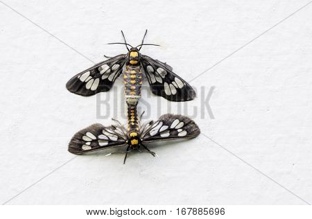 the breeding of small animals insects moth