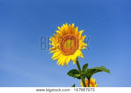 sunflowers on a background blue sky nature
