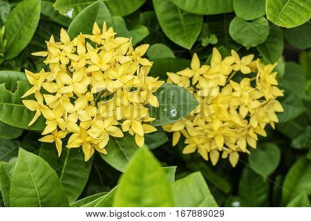 Close up of yellow ixora flower and green leaves for background