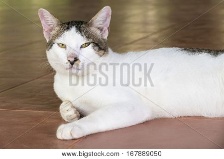 Portrait of cute male Thai cat resting on floor