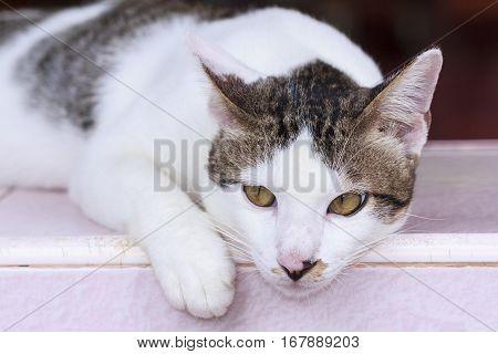 Portrait of cute Thai cat resting on chair