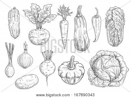 Veggies and vegetables icons. Vector isolated sketch zucchini squash, kohlrabi, carrot and chili pepper, chinese cabbage napa, onion leek and beet with potato. Vegetarian and vegan greens fresh food ripe harvest