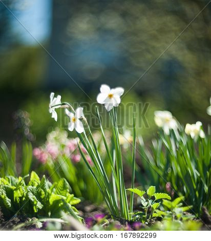 beautiful white narcissus on green background, spring