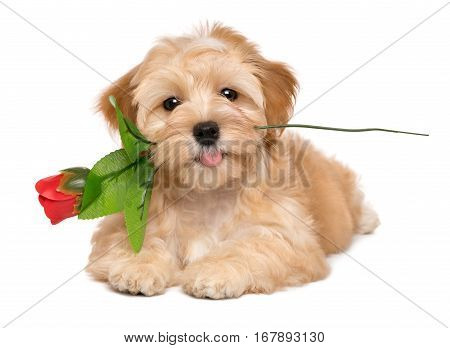 Happy lover havanese puppy dog lying with an artificial red rose in her mouth isolated on white background