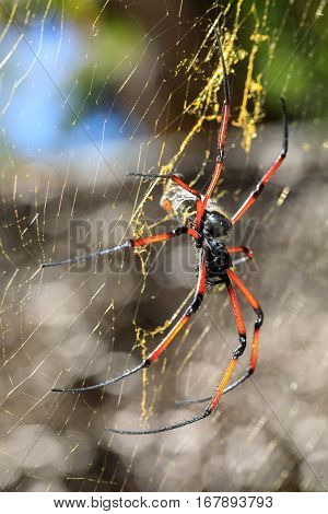 Golden Silk Orb-weaver On Net Madagascar Wildlife