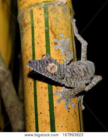 Giant Leaf-tailed Gecko On Bamboo, Madagascar Wildlife