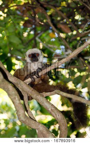 White-headed Lemur Madagascar Wildlife
