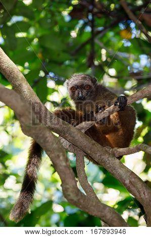 Female Of White-headed Lemur Madagascar Wildlife