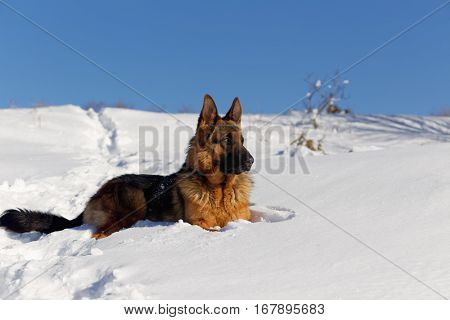 German Shepherd, portrait of a dog in the snow