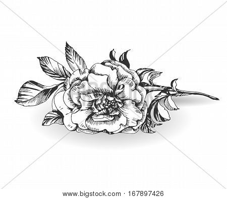 wild rose flower isolated on white background. Template Vector.