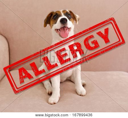 Animal allergy concept. Jack Russell terrier puppy at home
