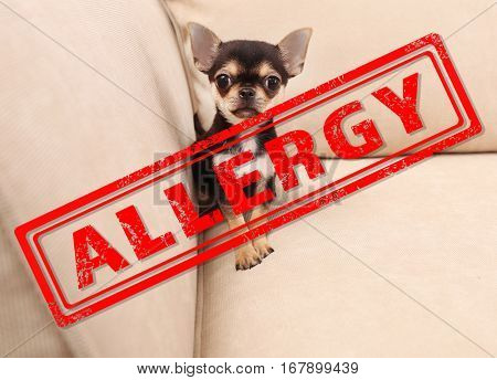 Animal allergy concept. Little dog at home