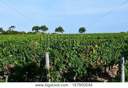 La Couarde sur Mer France - september 26 2016 : vineyard around the village in autumn