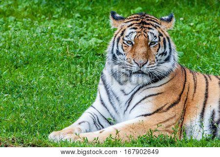 Bengal tiger or Panthera tigris lying on grass
