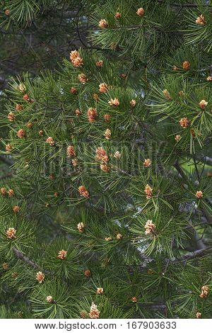 Lace-bark pine (Pinus bungeana). Tree with pollen cones