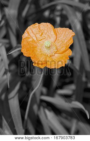 Iceland Poppy Flower