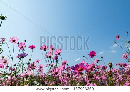 close up pink cosmos flower on natural background
