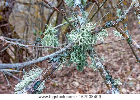 Close-up of colorful lichen plant growing on pine bark