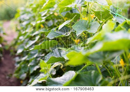 Cucumber yellow flowers creeping vines and green leaves on the supporting netting.