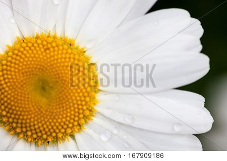 Closeup of the blooming oxeye daisy (Leucanthemum vulgare) with dewdrops