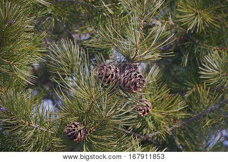 Lace-bark pine cones (Pinus bungeana). Image of cones