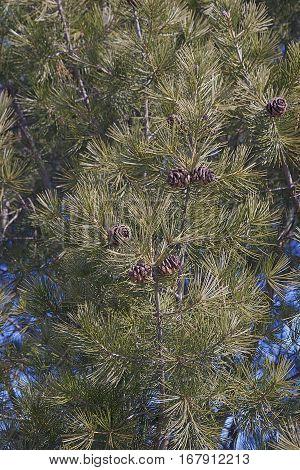 Lace-bark pine (Pinus bungeana). Tree with cones