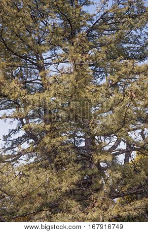 Bhutan pine (Pinus wallichiana). Called Blue Pine Himalayan Pine and Himalayan White Pine also. Another scientific names are Pinus griffithii and Pinus chylla.