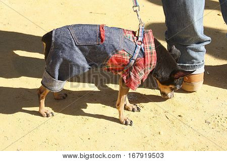 Breed the miniature Pinscher was bred in Germany.