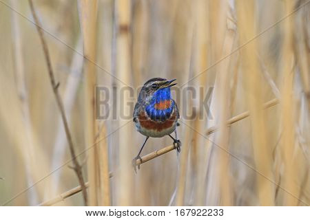 colored bird with a blue breast sits in the reeds, birds and animals in the wild life, bird in the native environment
