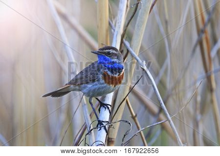 bluethroat , Luscinia svecica sitting among bushes spring morning, birds and animals in the wild life, bird in the native environment