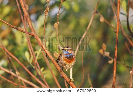 Bluethroat good sunny morning singing song, birds and animals in the wild life, bird in the native environment