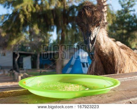 Australia Monkey Mia 01/04/2015 Australian emu looking at an empty plate on a table