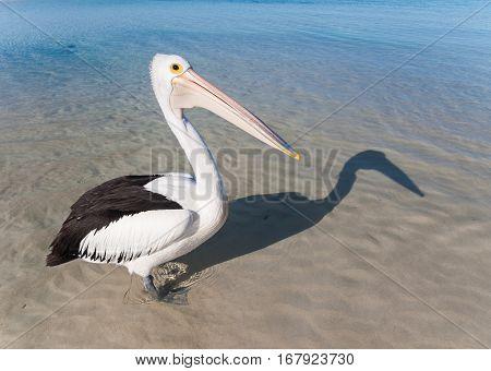 Australia Yanchep Lagoon 04/18/2013 Australian pelican on an australian beach
