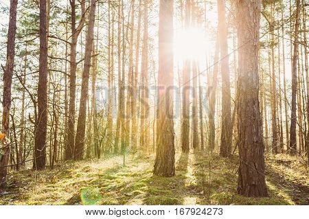 Sunset Or Sunrise In Coniferous Forest Landscape. Sun Sunshine With Natural Sunlight And Sun Rays Through Woods Trees In Spring Forest. Beautiful Scenic View.