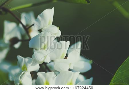 beautiful flowers white acacia closeup blue tone spring natural background