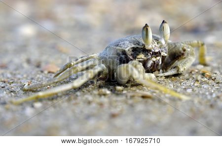 Sea crab on the sandy beach