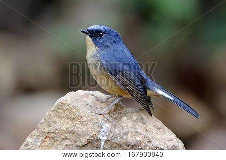 Slaty-blue Flycatcher Ficedula tricolor Male Birds of Thailand