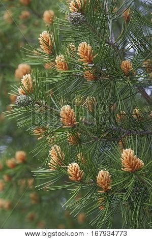 Lace-bark pine (Pinus bungeana). Image of pollen cones