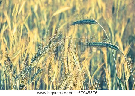 The rye crop (Secale cereale) on the field. Vintage processing style