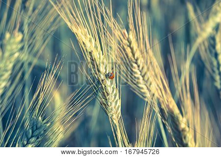 The rye crop (Secale cereale) and the ladybug on the field. Vintage processing style